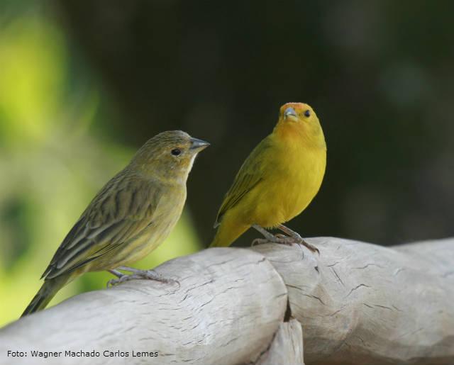 Canário macho ou fêmea - como diferenciá-los