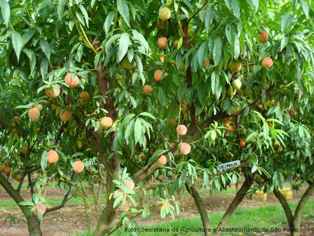 A importância dos aminoácidos para as frutíferas