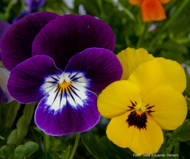 Quais flores plantar para o inverno