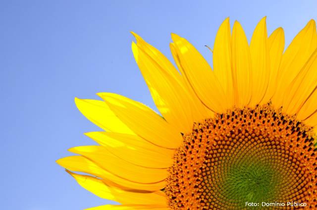 Por que o girassol acompanha a posição do sol