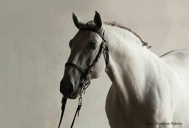 Cavalo Lusitano - saiba mais sobre esse belo equino