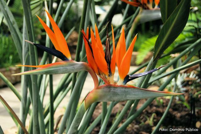 6 dicas de cultivo de estrelícia