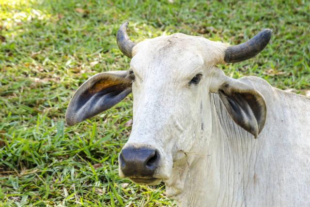 Núcleos de preservação do gado pantaneiro evitam extinção da raça