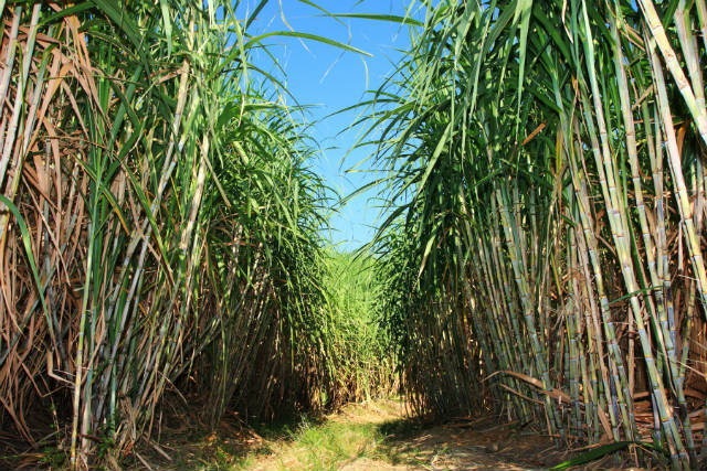 Aprovado uso comercial da cana geneticamente modificada