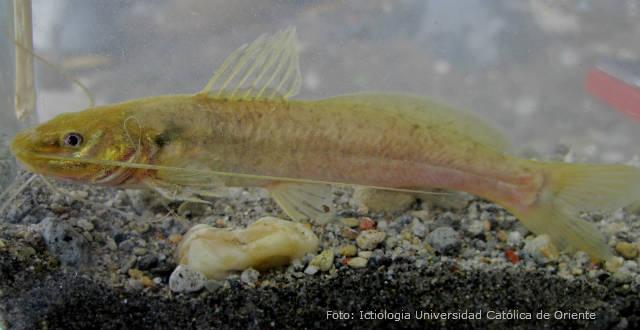 Conheça o peixe Jundiá (Rhamdia quelen)