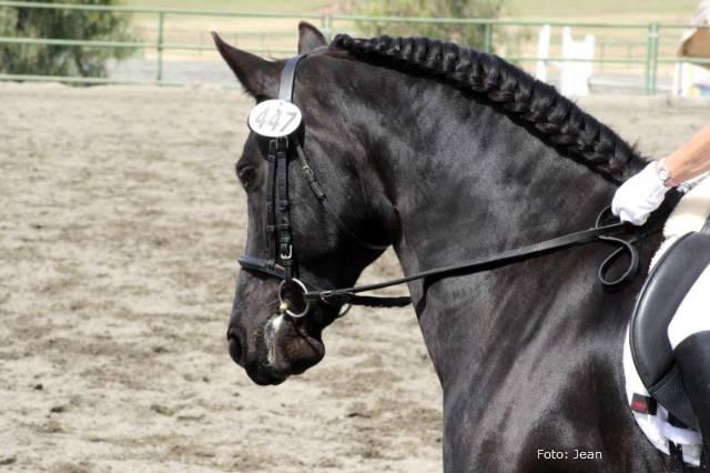 Raça de cavalo holandesa friesian encanta mineiros
