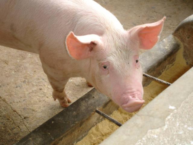 Ração caseira para suínos - uma boa alternativa para o suinocultor