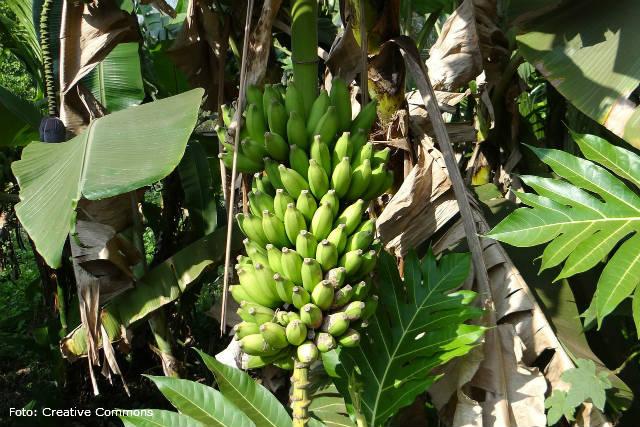 Raça 4 do fungo fusarium preocupa produtores de banana