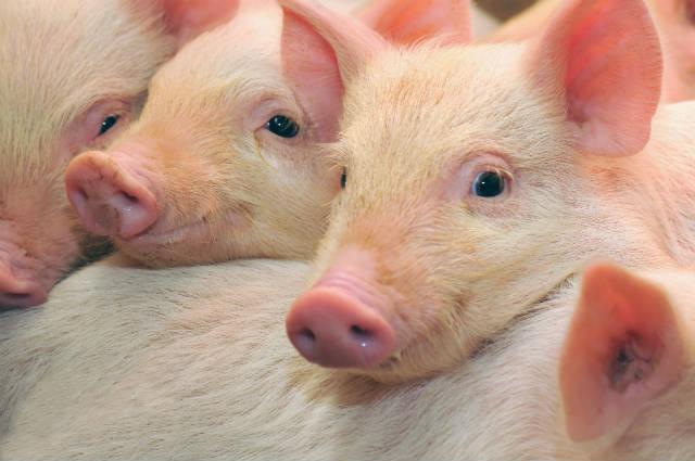 Surge vacina contra doenças pulmonares em suínos