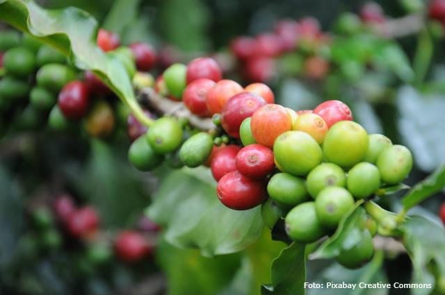 Broca-do-café: manejo integrado de pragas