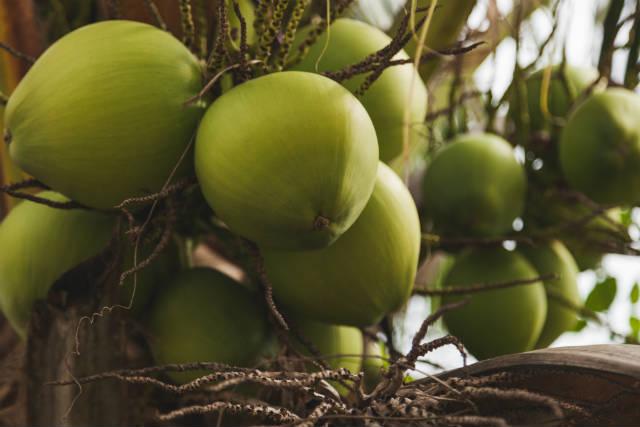 Tecnologia da Embrapa aumenta vida útil do coco
