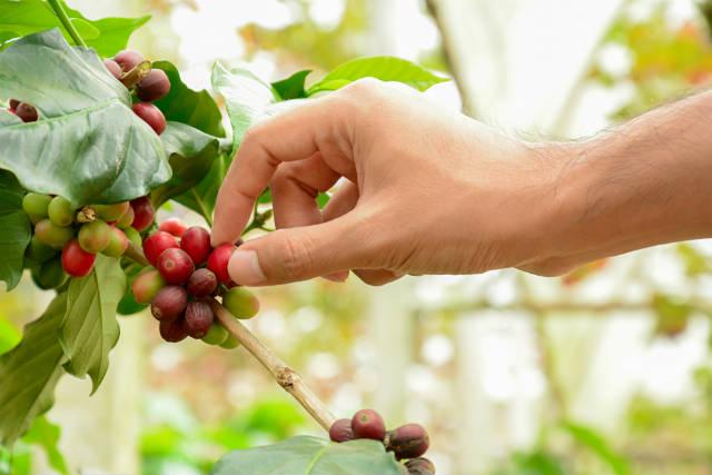 Plataforma digital ajuda a prevenir doenças no cafezal