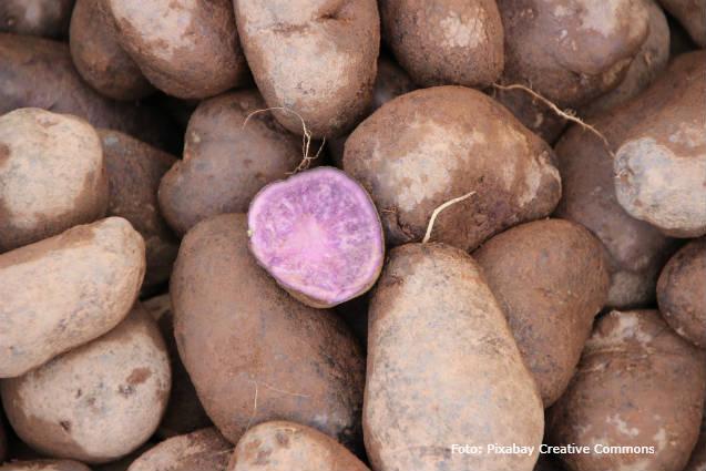 Conheça as batatas coloridas com baixo teor de matéria seca