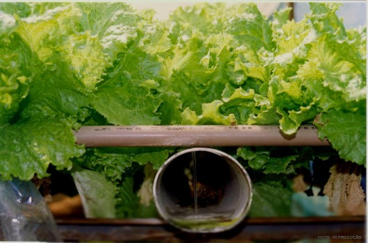 Sistemas Hidropônicos - cultivo em água