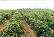 Café - planejamento e implantação da lavoura superadensada