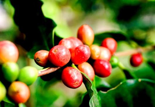 Café - tratos culturais no cultivo superadensado