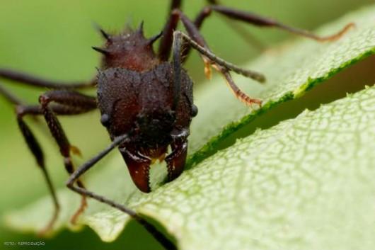 Formigas Cortadeiras - espécies, manejo integrado e métodos de combate à praga