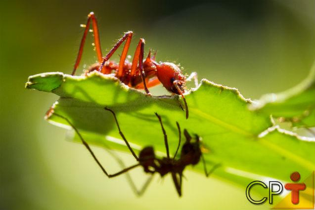 Formigas Cortadeiras - espécies, manejo integrado e métodos de combate à praga   Artigos Cursos CPT