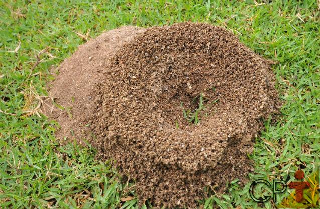 Formigas Cortadeiras - importância do combate às saúvas e quenquéns   Artigos Cursos CPT