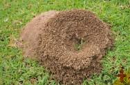 Formigas Cortadeiras - importância do combate às saúvas e quenquéns