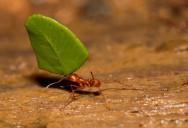 Formigas Cortadeiras - quem são as saúvas e os quenquéns e como vivem