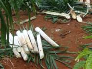 O resíduo da agroindústria, que pode ser aproveitado na dieta de ruminantes, é a casca do palmito.