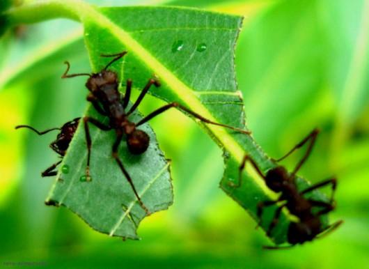 Formigas Cortadeiras - o que são as técnicas preventivas ao ataque de saúvas e quenquéns
