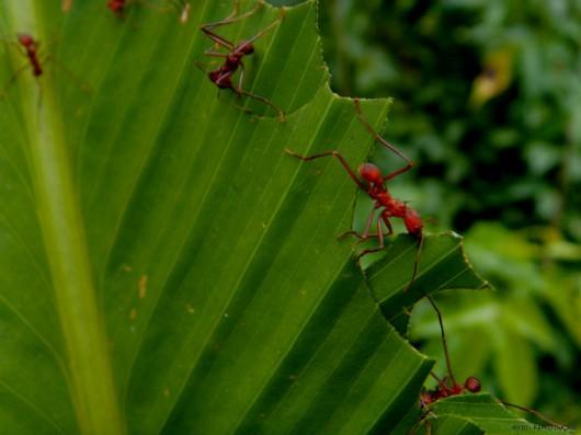 Formigas Cortadeiras - desmatamento racional e diversificação do plantio