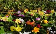 Orquídeas - comercialização