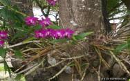 Orquídeas - como plantá-las em vasos, árvores ou cascas de árvore