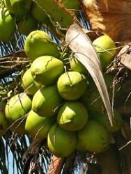 Aprenda Fácil Editora: Cultivo de coqueiro anão