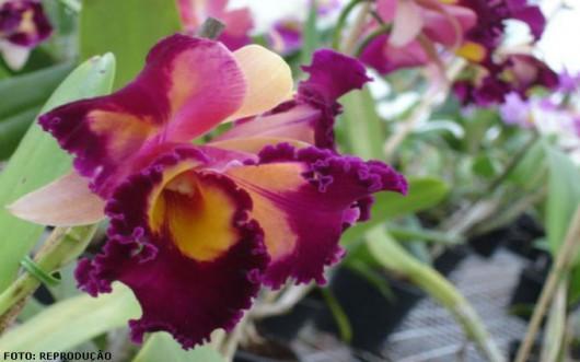 Orquídeas - defensivos caseiros