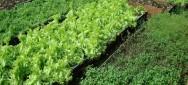 Aprenda Fácil Editora: Horticultura orgânica: fonte de alimentos saudáveis e renda extra para o agricultor