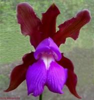 Espécies de orquídea - Cattleya elongata Barb.
