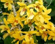 Espécies de orquídea - Dendrobium nobile