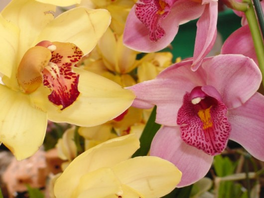 Orquídeas - nomenclatura
