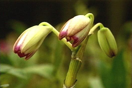 Orquídeas - classificação