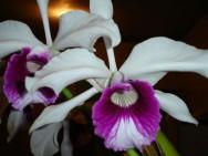 Orquídeas - grupos