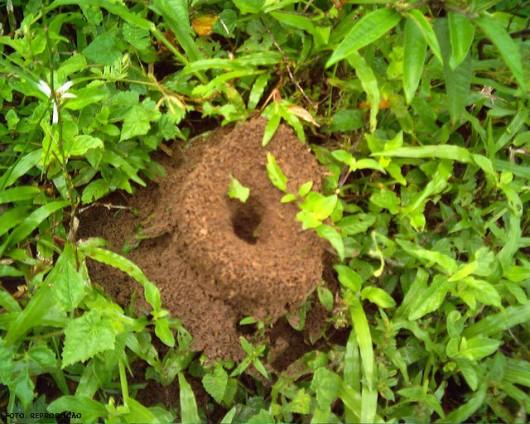 Formigas Cortadeiras - controle por escavação