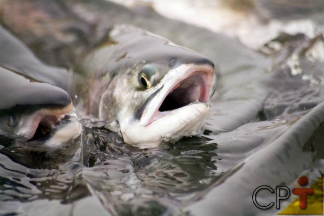 Nutrição de peixes - outras fontes proteicas   Artigos Cursos CPT