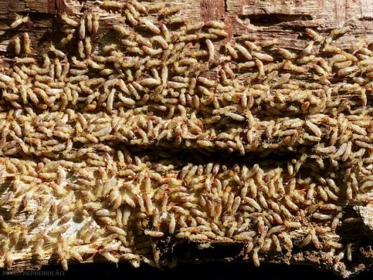 Cupins - caracterização  e determinação da existência de infestação