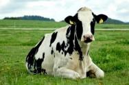 Aprenda Fácil Editora: Gado de leite: principais raças