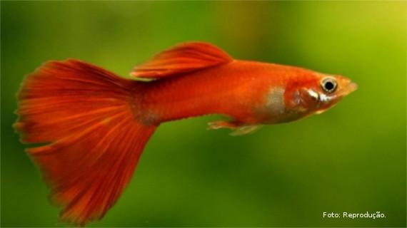 Peixe Barrigudinho
