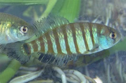 Peixes de água doce do Brasil - Peixe-Anual (Austrolebias minuano)