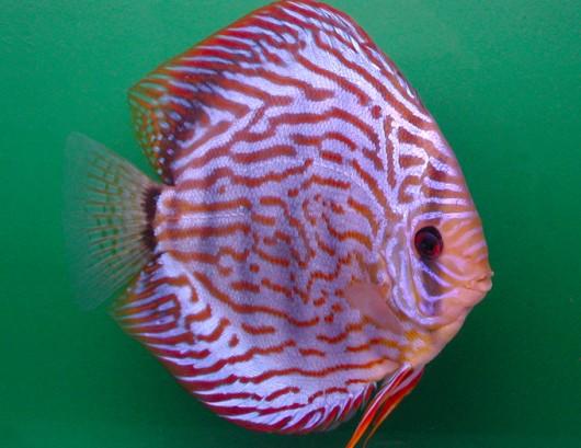 Peixes de água doce do Brasil - Acará-Disco (Symphysodon aequifasciatus)