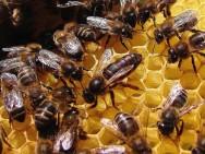 Aprenda Fácil Editora: Organização social das abelhas