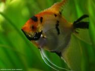 Peixes de água doce do Brasil - Acará-Bandeira (Pterophyllum scalare)