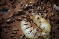 Pragas do maracujá - controle de cupins e ácaros