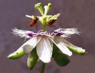Pragas do maracujá - controle das abelhas domésticas e Irapuás