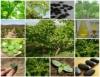 ONU incentiva o melhoramento do pinhão-manso para produção de biodiesel